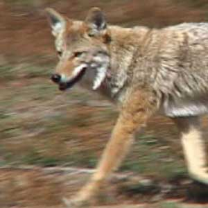 Coyote Population Increasing Dangerously