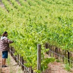 The wine harvest in and around the valley requires constant attention.