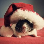 Holiday Rats Arrive in San Jose