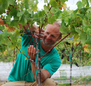 Green Grapes: Vine Hill Winery Goes Organic