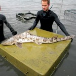 Leopard sharks run in large schools in the shallows of the South Bay, where they have recently been turning up ailing and dead. Volunteers from the Pelagic Shark Research Foundation have been rounding them up.
