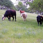COW COW BOOGIE: The students in the new farm-to-table program will visit the grass-fed herd at Paicines Ranch.