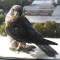 A falcon perched at San Jose's City Hall.