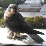 A falcon perched at San Jose's City Hall.