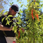 Sam van Aken has planted  20 trees across the nation using 250 varieties of stone fruit.