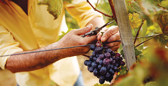 Harvest Report: A Longer Season, Tasty Varietals
